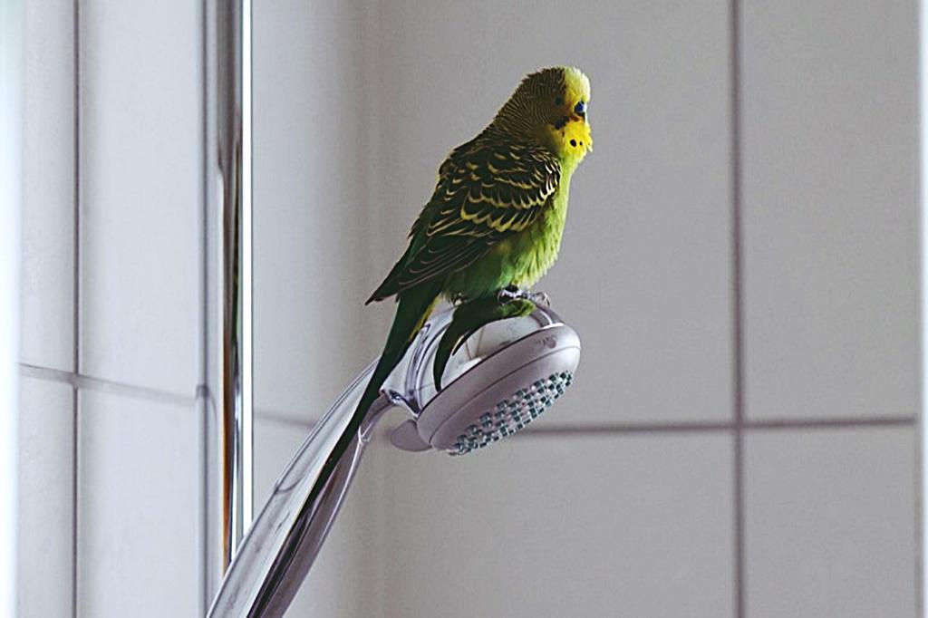 Muhabbet Kuşları Yıkanır mı?